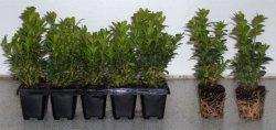 50 Buxus sempervirens arborescens 8-10 für 19€ zzgl. Versandkosten@ ebay